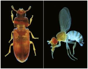 Der Rotbraune Reismehlkäfer (links) und die Fliege Drosophila melanogaster sind zwei Modellorganismen für genetische Analysen. (Bild: Gregor Bucher)