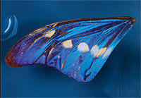Male brush-footed butterfly (morpho cypris), Colombia, 20th century, Zoological Collection (Image: Georg Pöhlein)