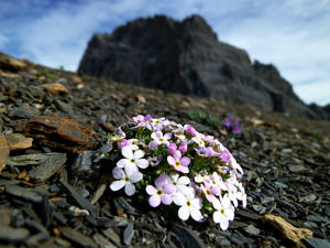 Androsace alpina – Alpine rock jasmine: A typical alpine species that mainly grows on acidic rocks such as granite and gneiss. This plant was found only on summits in the Alps. Historically, it was found on 57 summits and still occurs on all of them today. (Image: Sarah Burg, SLF)