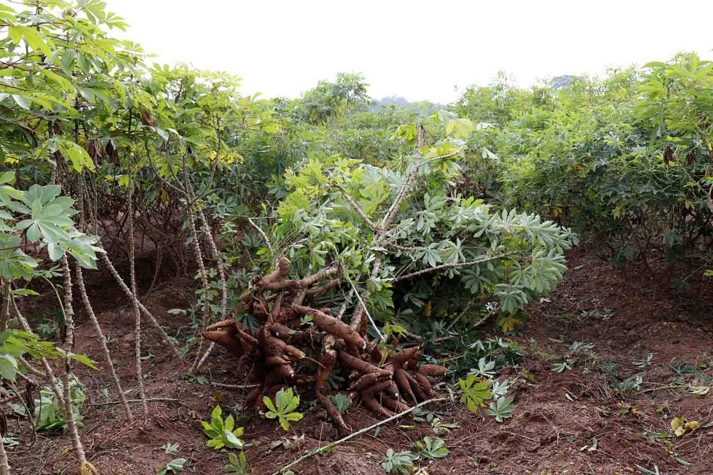 The image shows cassava plants.