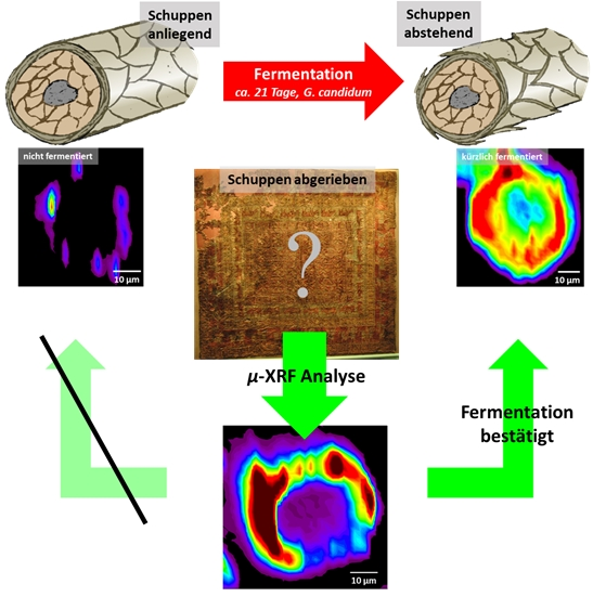 Fermenting sheep's wool before it is dyed increases the brilliance and longevity of the colour. Fermented wool can be identified by the raised position of the layers of the cuticle along the fibres or by the characteristic distribution of pigments across the cross-section of the fibres. The latter is shown in the x-ray fluorescence images (left). The cuticle layer has fallen off the samples of fibre from the Pazyryk carpet (right). The influence of the fermentation process is still visible by comparing the fluorescence images (bottom) with those of recently dyed samples. Image: FAU/Dr. Andreas Späth